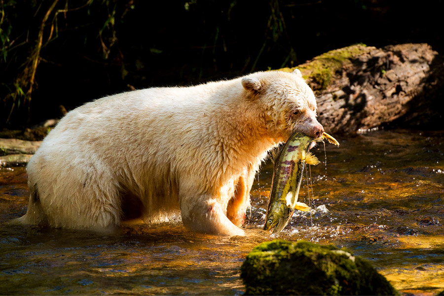 A Spirit bear holds a salmon in their mouth while standing in a creek.