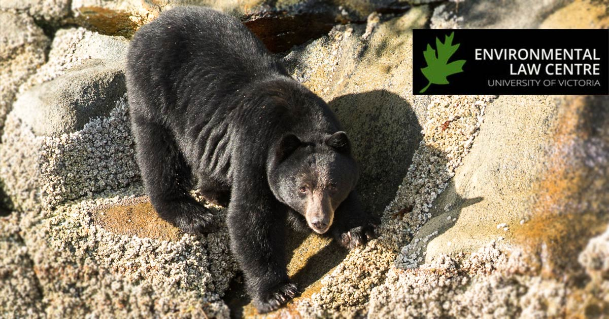 A black bear looks up as it climbs down to the water on the rocks.