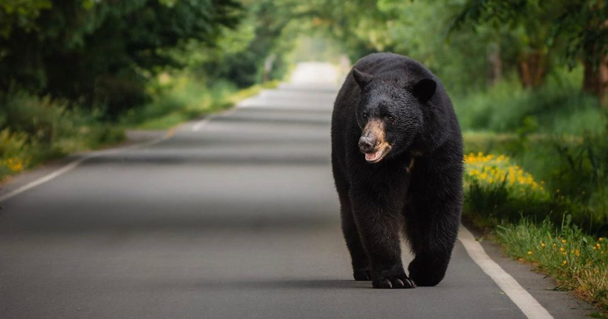 A happy large black bear walks down the road.