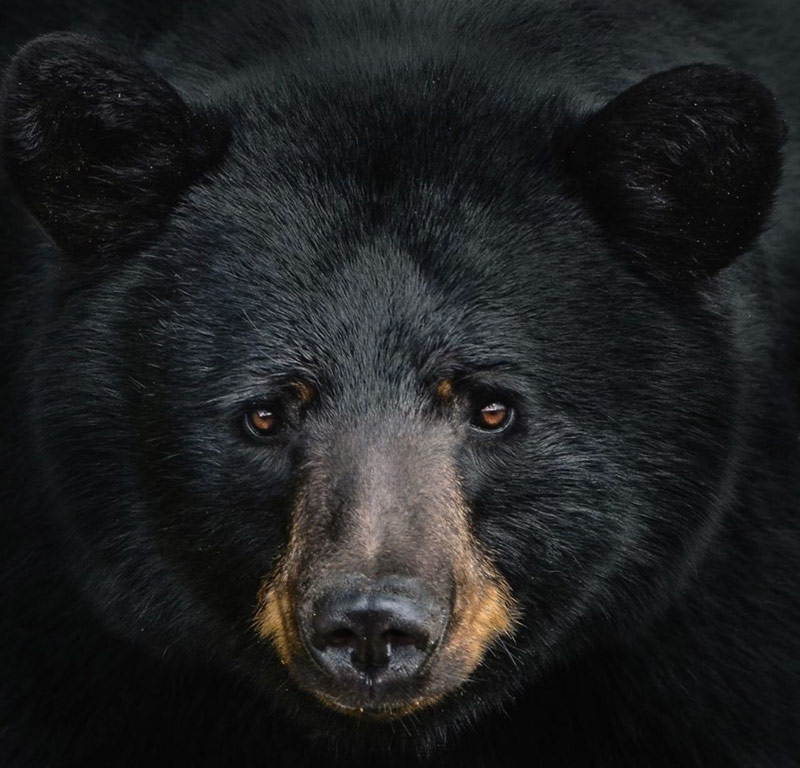 Close up of a black bear face.