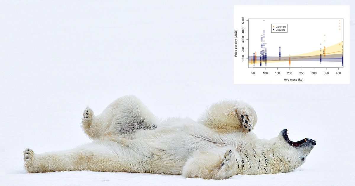 A polar bear rolls on their back with their mouth open, and there's a graph floating in the top right.