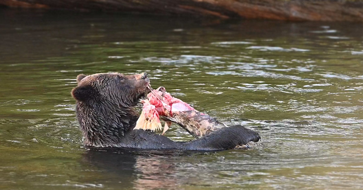 A bear stands or floats in the water eating a giant salmon.
