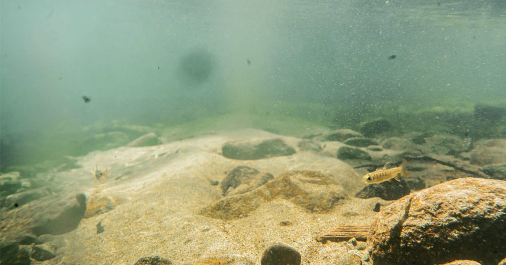 A small coho salmon fry swim on the bottom of the lake.