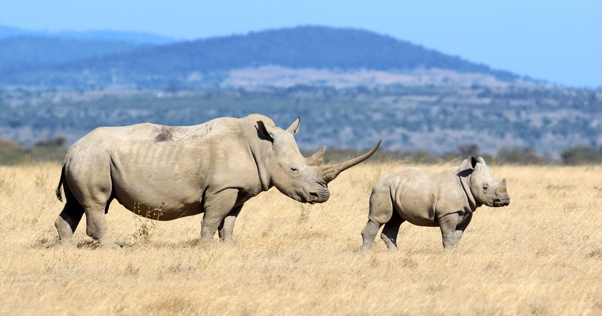 A rhinoceros and juvenile rhinoceros stand in the brown grass of the Botswana flats.