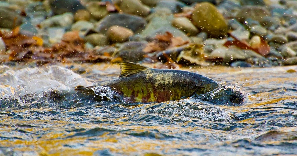 A salmon splashes in a shallow stream, surrounding by the vibrant colours of autumn.