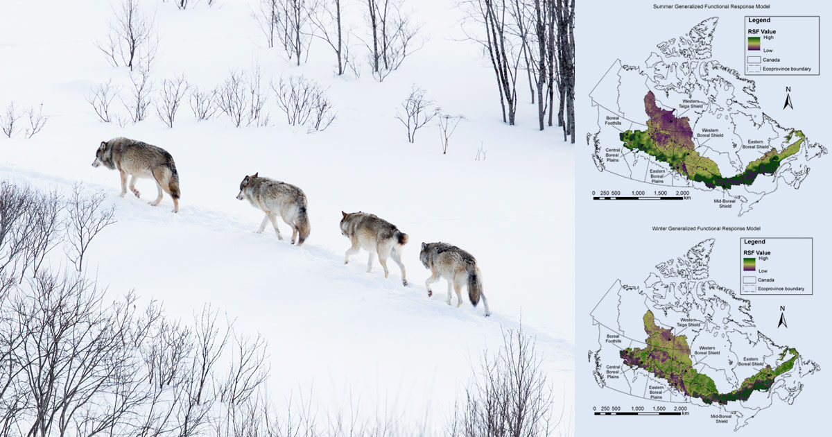 Four wolves walk up a hill following a narrow path, research maps superimposed on top.