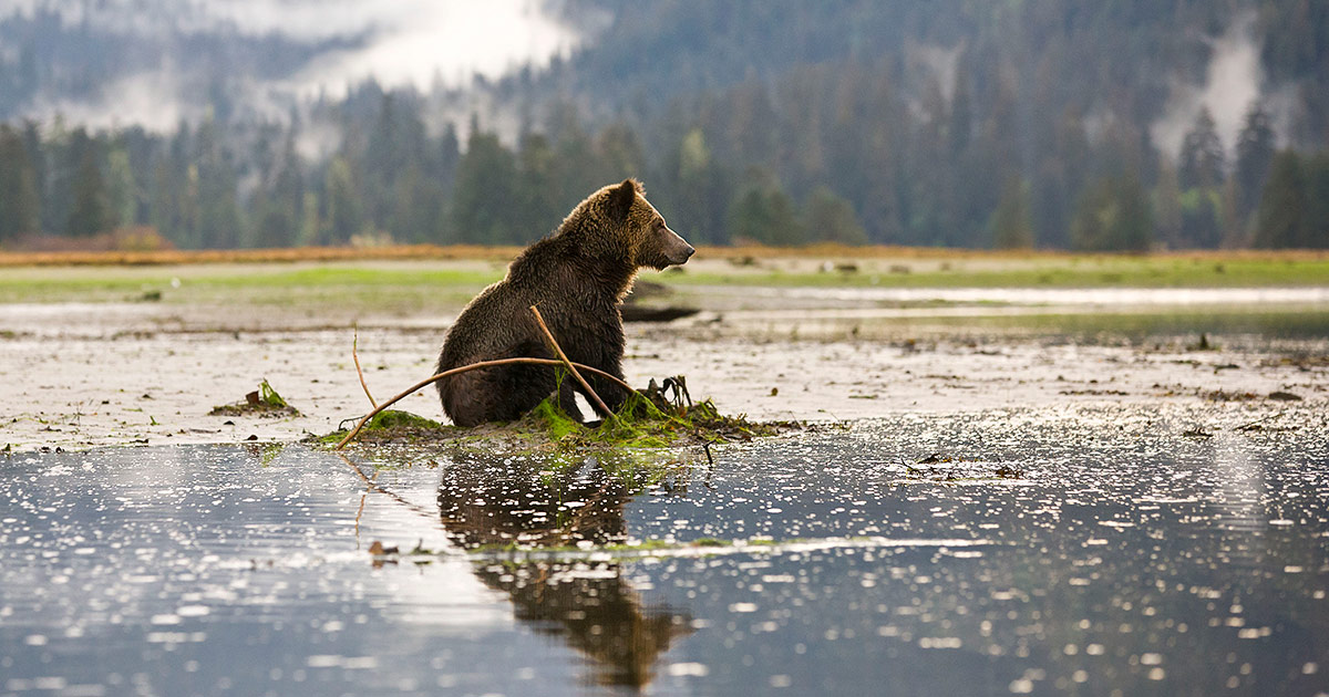 Grizzly bear sits int he middle of an intertidal area in the Khutzemateen.