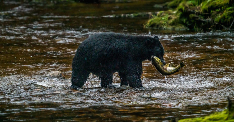 Black bear catching salmon in the middle of the river.
