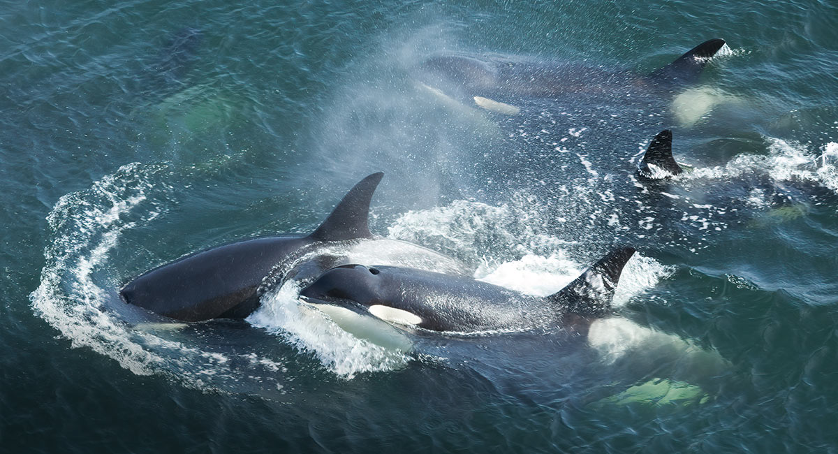 Three southern resident killer whales breaching the surface with a spray of water.