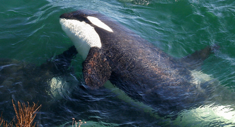 A Southern Resident killer whale is breaching on its side.