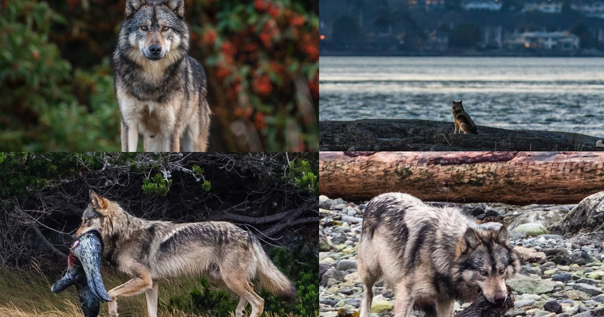 Takaya, the lone wolf of Discovery Island, shot by hunter