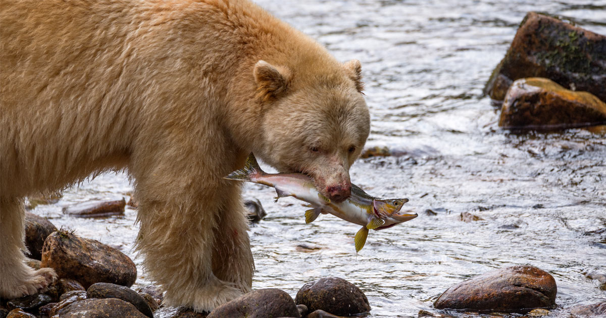Spirit Bear catching a salmon by river's edge.
