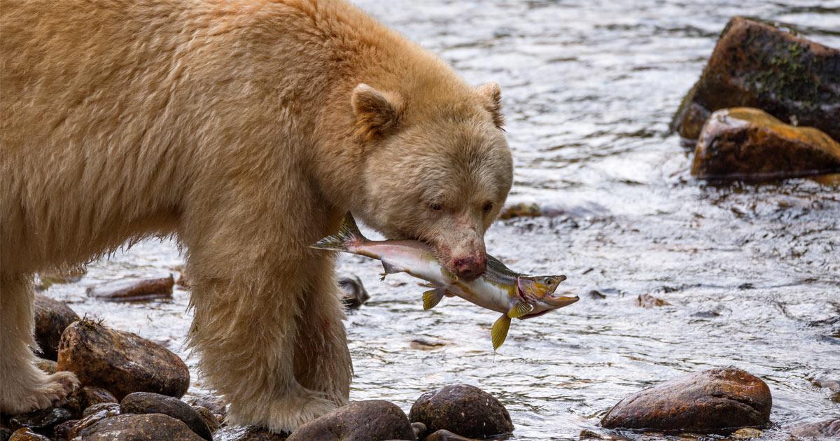 Spirit Bear catching a salmon by river's edge.