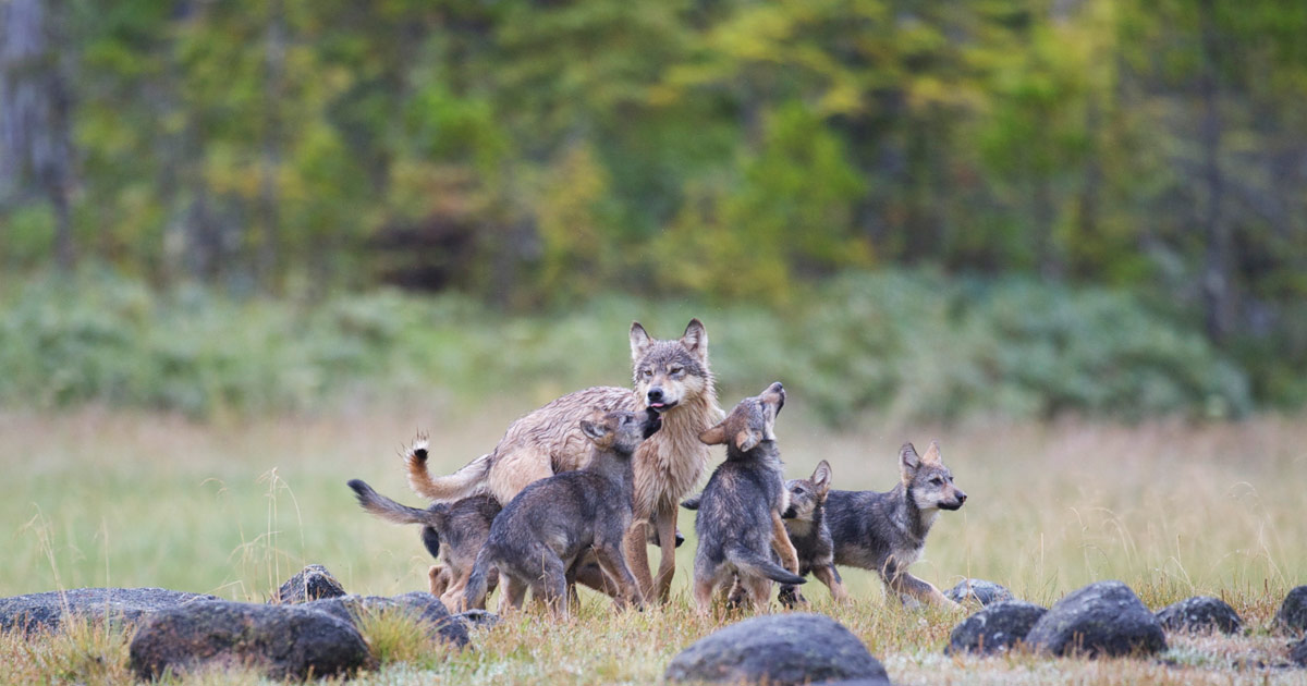 Wolf cubs surround a mother wolf looking out protectively in the Great Bear Rainforest.