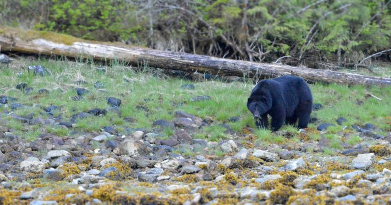 A black bear forages in the estuary with the tide out.