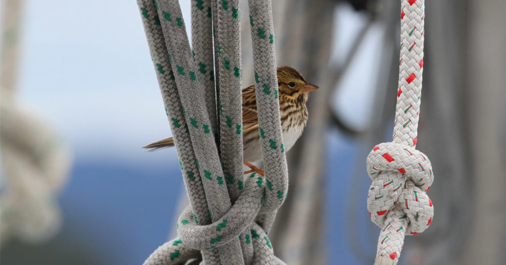 A tiny bird rests in the rigging of the vessel, Achiever.