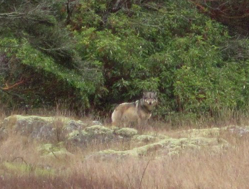Staqeya, the lone wolf of Discovery Island, killed by trophy hunter