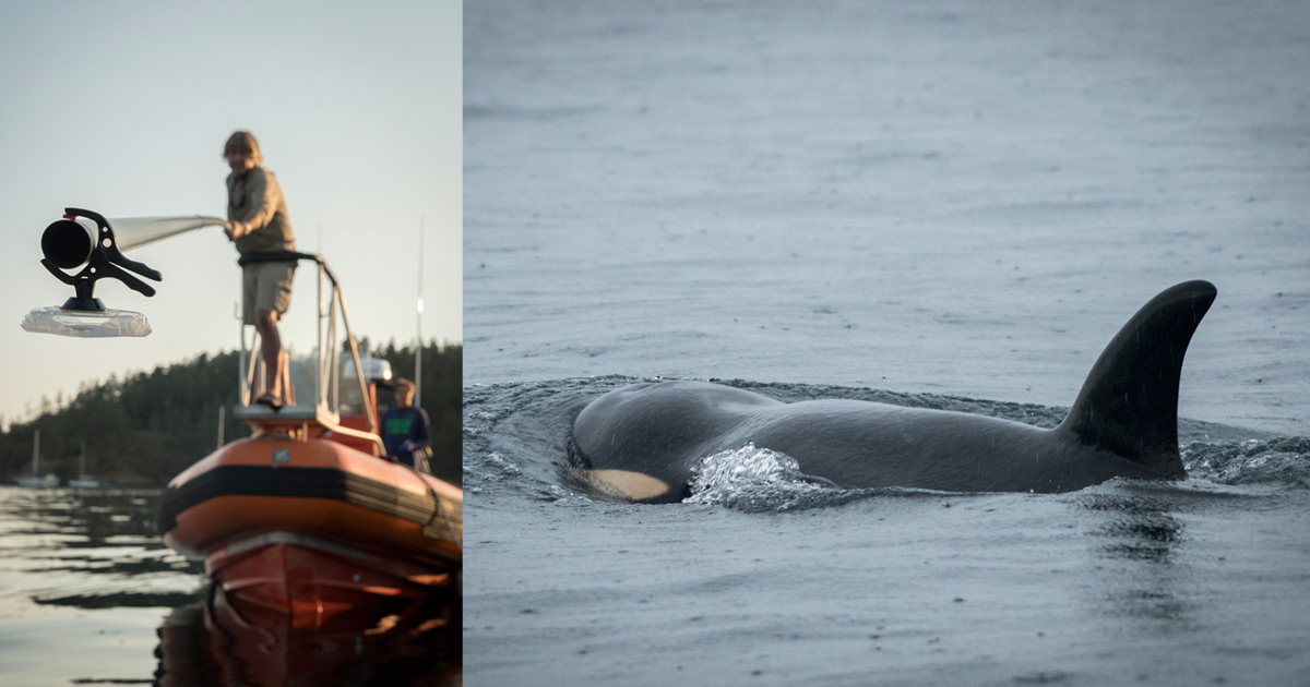 A researcher puts a breath sampler in the water from a long pole while a killer whale swims in another frame.