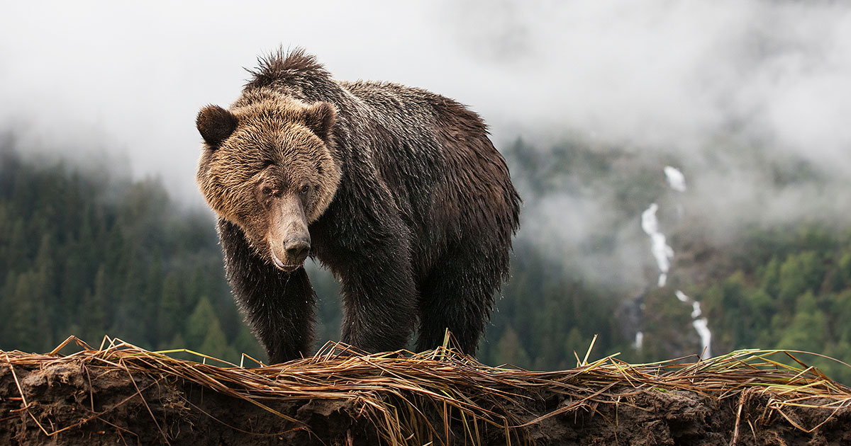 A grizzly bear looks down from a stream bank in the Great Bear Rainforest.