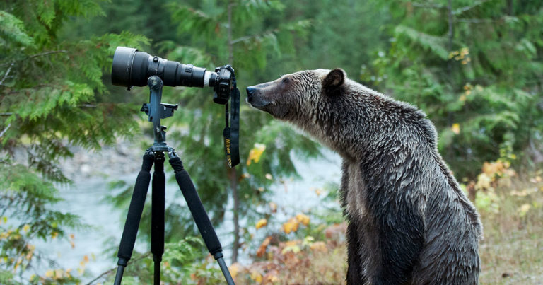 A bear leans over to look closely at a camera on a tripod.