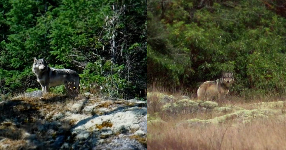 Two photos of Staqeya the lone wolf on Discovery Island.
