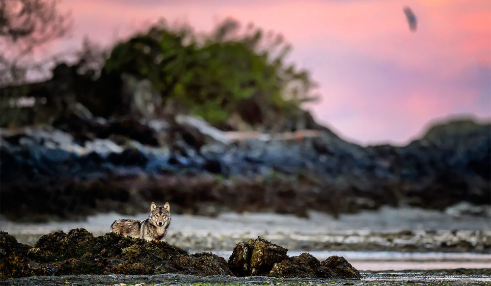 Coastal wolves (sea wolves) photographed on Vancouver Island, British Columbia Canada, by Michelle Valberg.