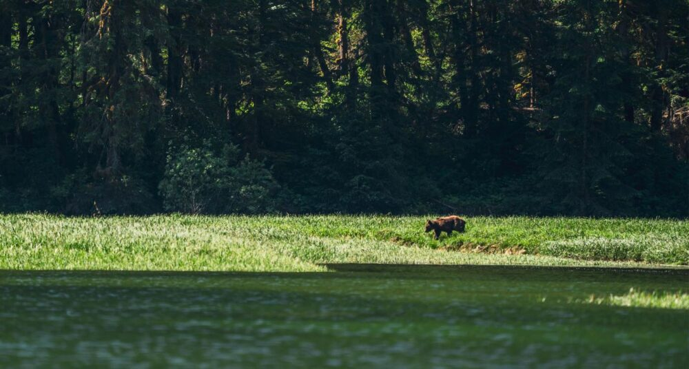 A bear stands in the long grass on the shores of the Kitlope.