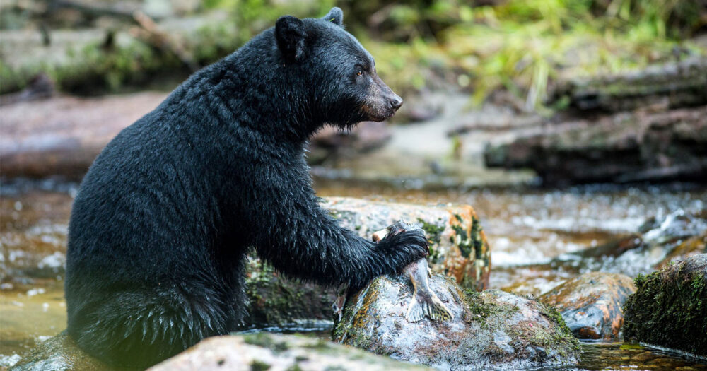 A black bear sits in the stream and holds a fish against a rock in the water.