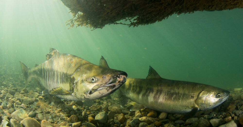 Fraser river Chinook salmon settle on the rocks near the bottom under a shadow.