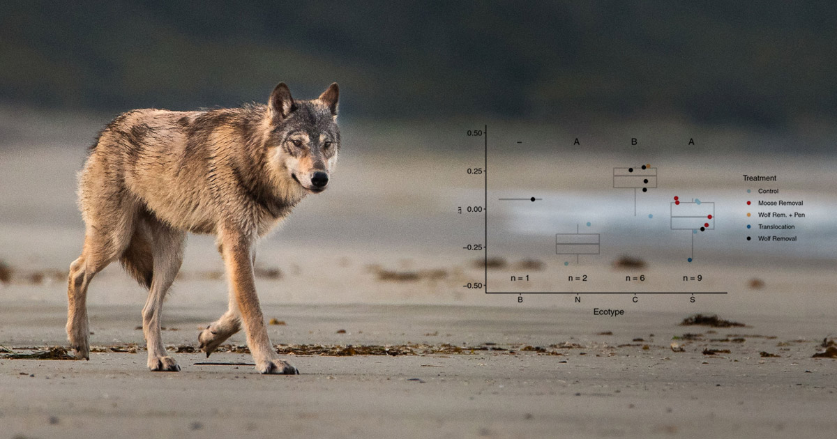 A wolf walks across the beach in the early morning light, with figure 1 in the foreground.