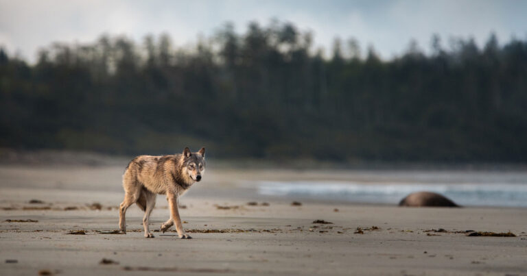 A wolf trots across the beach in the early morning light.