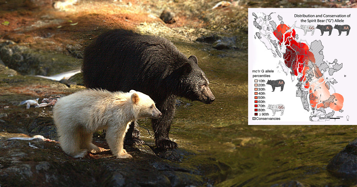 Juvenile Spirit bear and black bear mother stand by a river with salmon strewn across the bank.