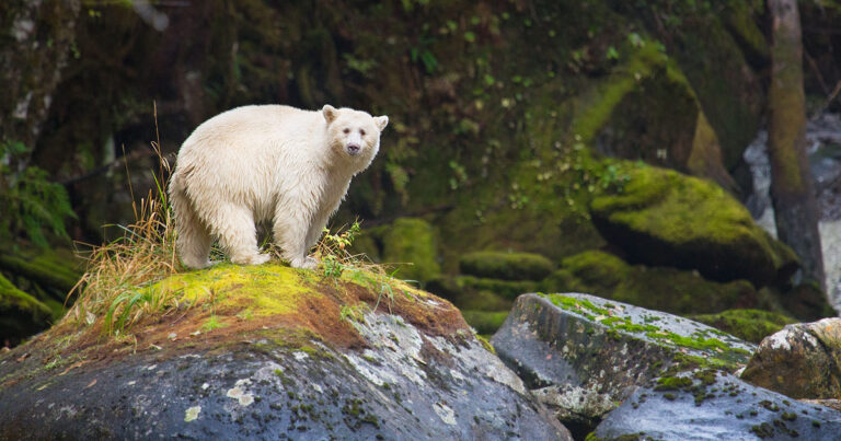 A white bear stands on a rock in the Great Bear Rainforest.