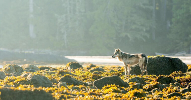 A wolf stands relaxed in the intertidal zone in the Great Bear Rainforest.