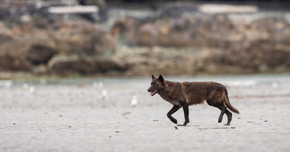 A darkly coloured wolf with black highlights walks across the sand in the intertidal zone.