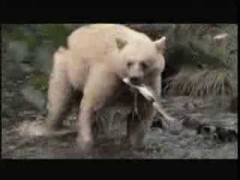 A white bear holds a salmon in their mouth while walking through a shallow river in the Great Bear Rainforest.