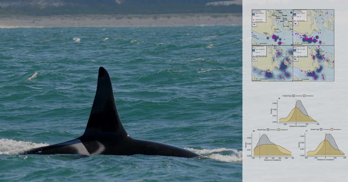 A Southern Resident killer whale fin above the water in the Salish Sea with graphs from a research paper in the foreground.