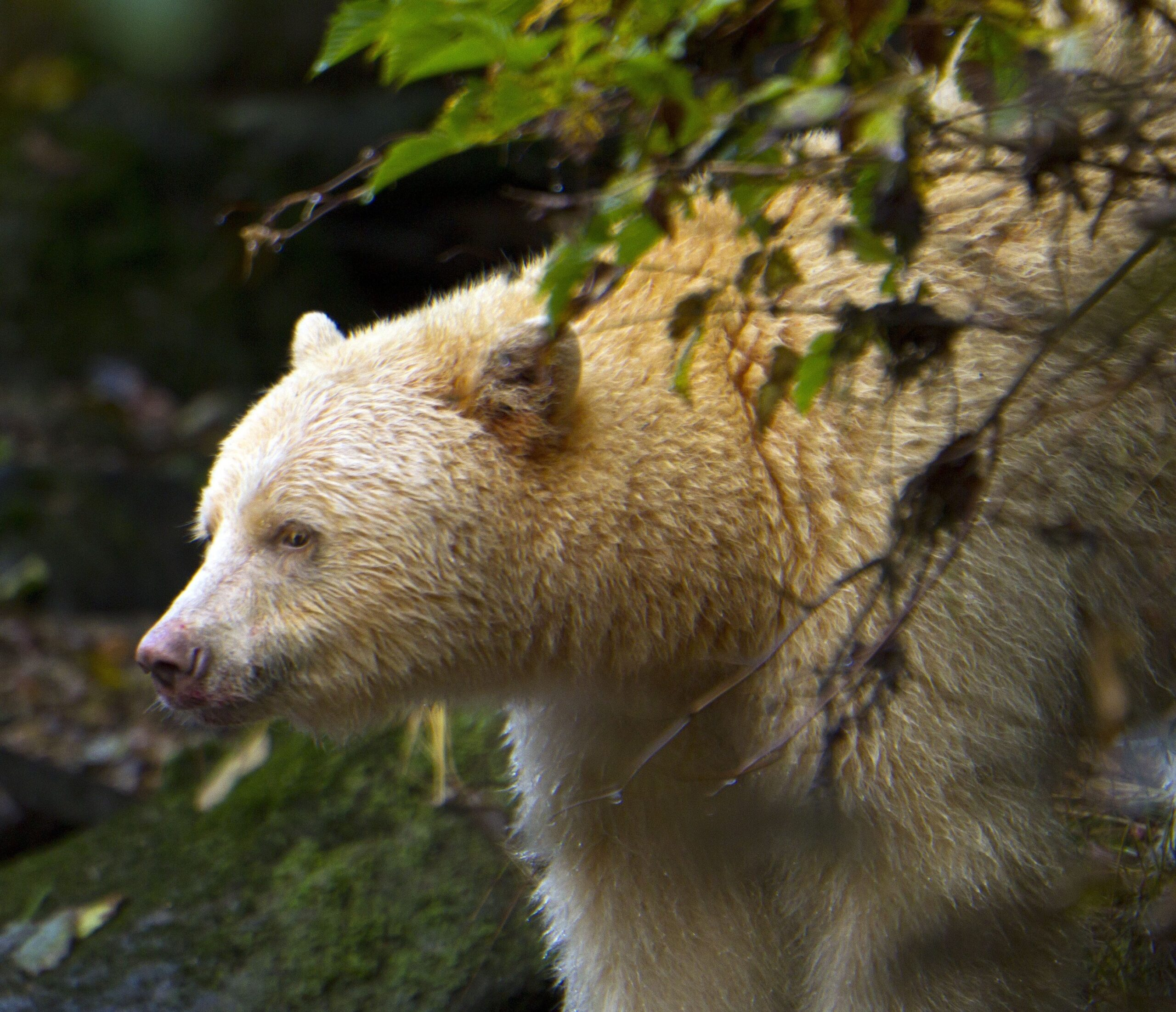 A white bear pokes out from behind a bush in the Great Bear Rainforest.