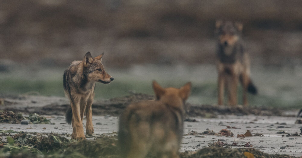 Coastal wolves stand in a loose group on the intertidal zone.