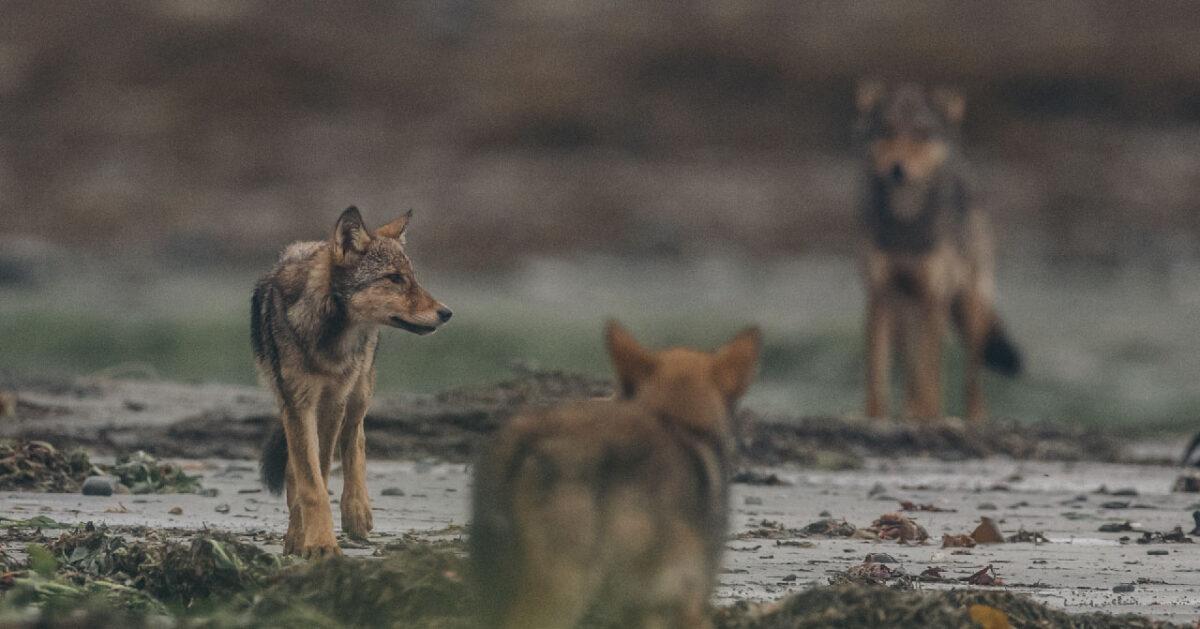 Coastal wolf