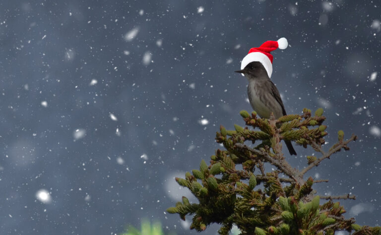 All we want for Christmas is an olive-sided flycatcher in a Douglas-fir tree