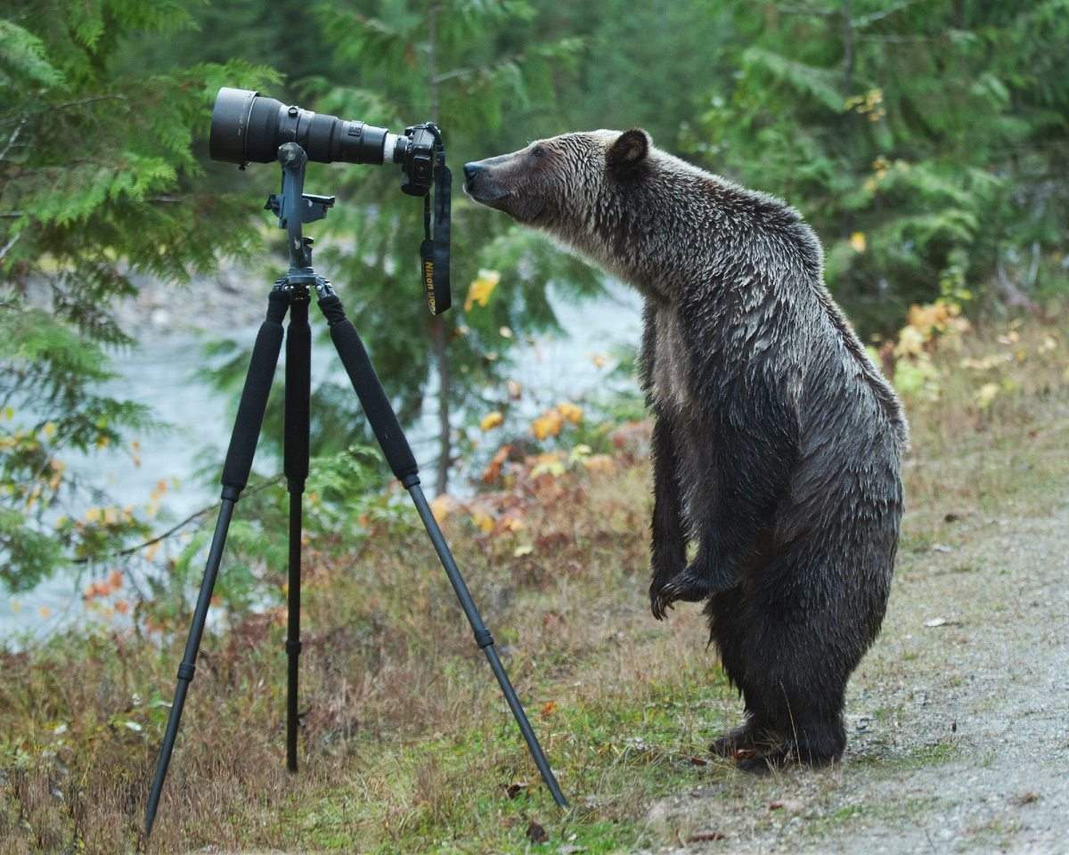 A grizzly bear standing on two legs looks through a large camera on a tripod.
