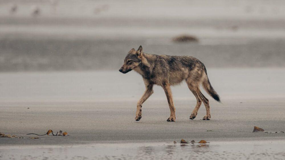 A wolf walks along the beach.