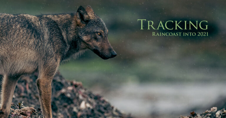 "A wolf looks into the distance and there is a title, ""Tracking Raincoast into 2021."""