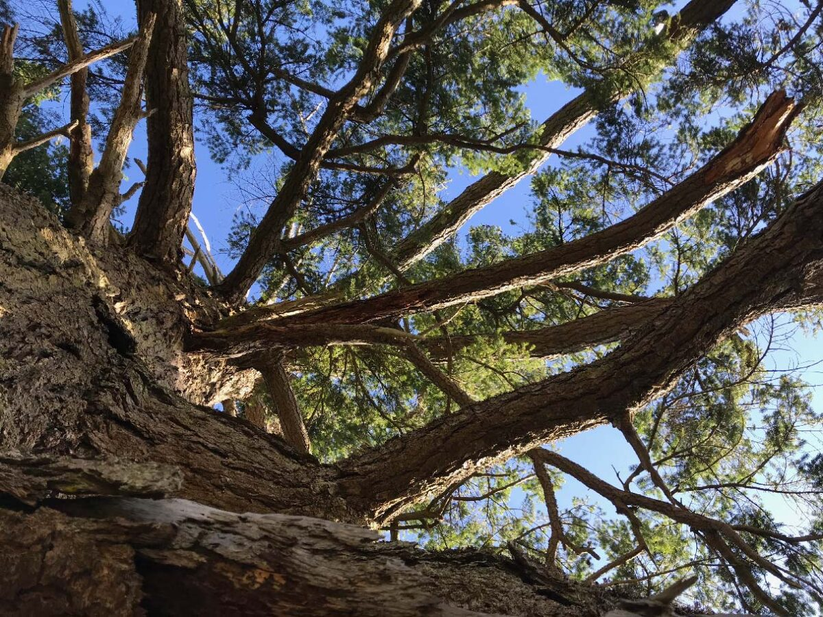 View from the bottom of an fir tree looking up.