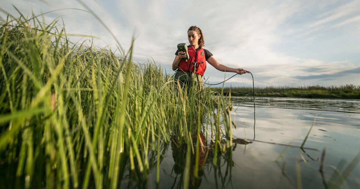 Lia Chalifour stands in the waters and tall grass of the Fraser River estuary taking measurements.