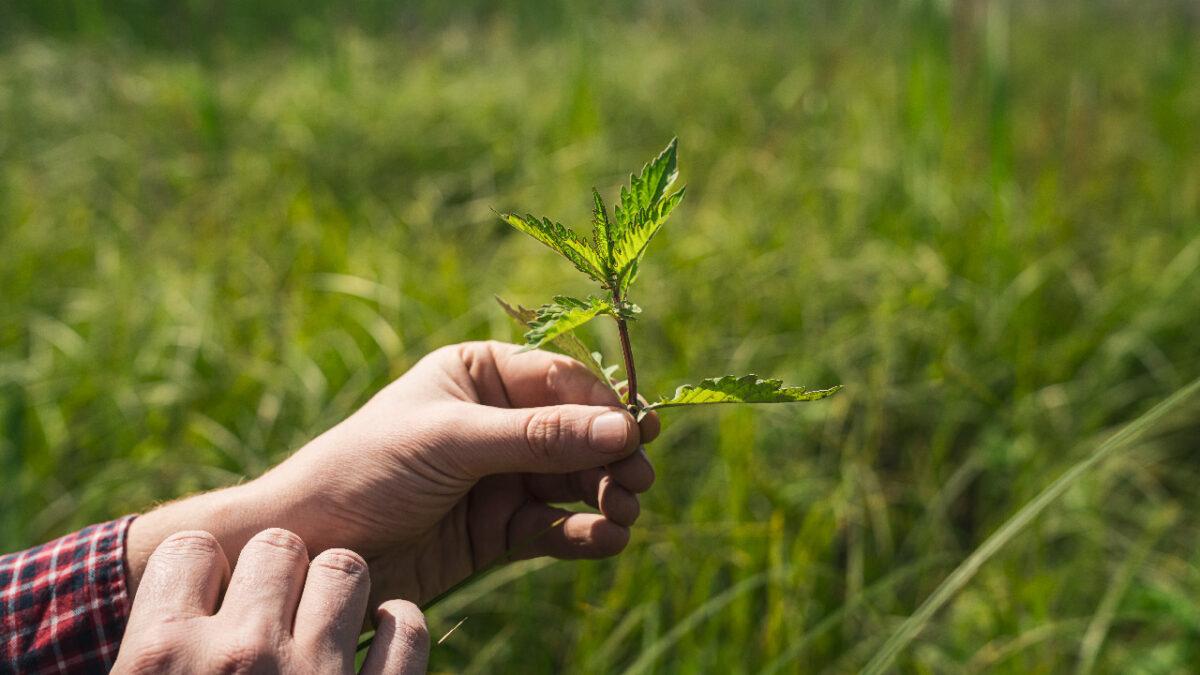 A hand holding an estuary plant.