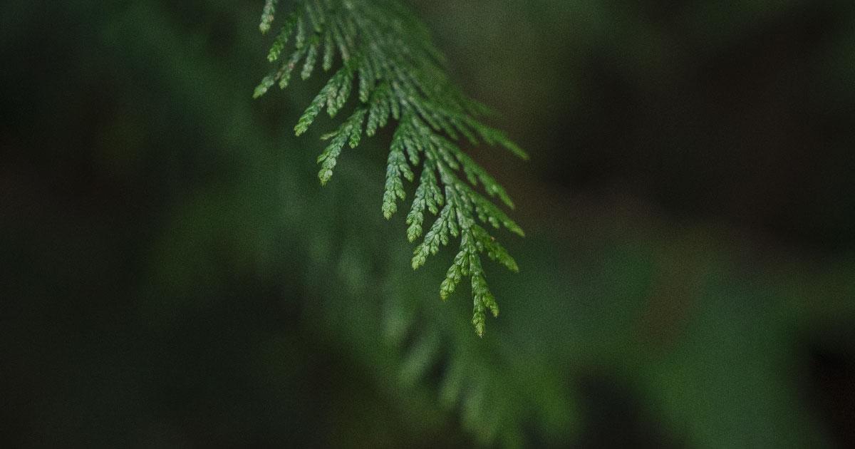 Close up photo of a cedar bough.