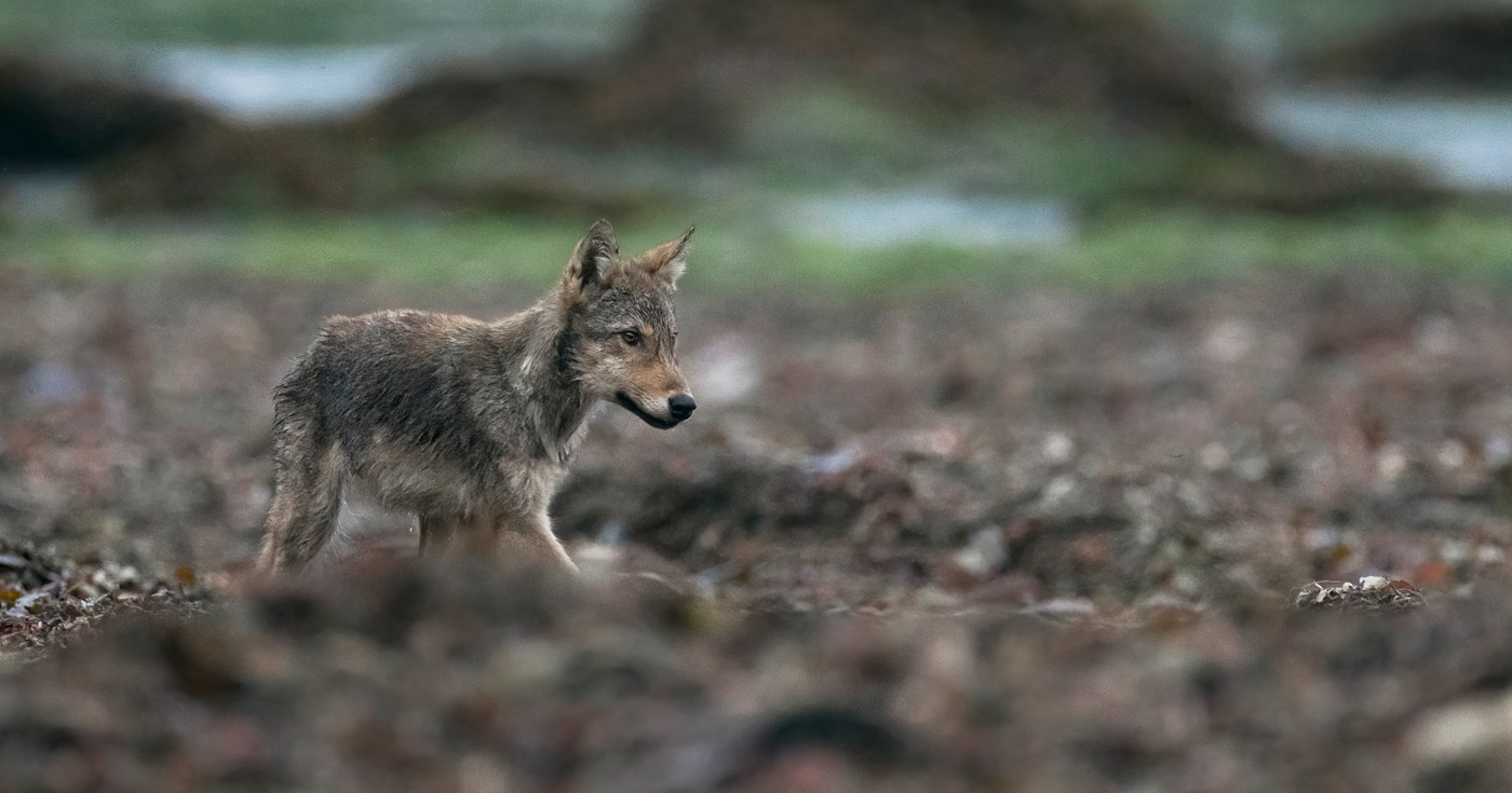 A wolf walks across the beach in the intertidal zone on the coast of BC.