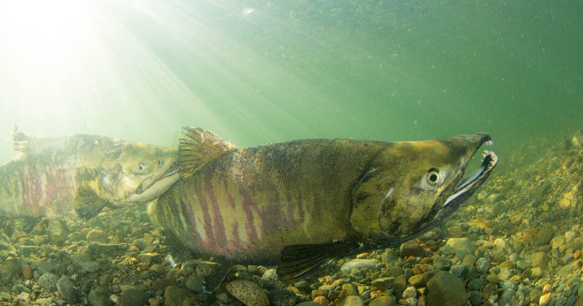 Underwater shot of a Chinook Salmon in the Fraser River